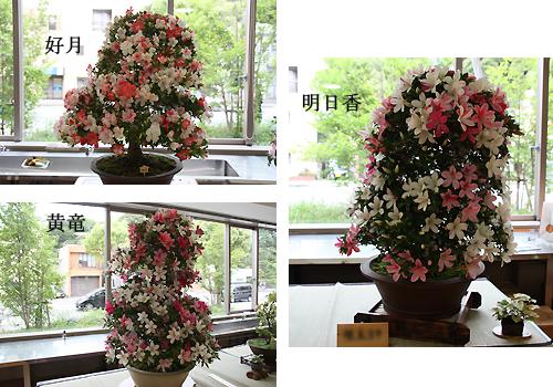 01我孫子さつき花季展示会2.jpg