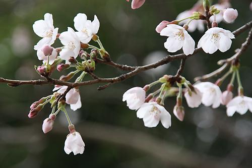 0.桜1.jpg
