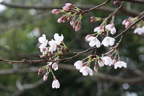 0.桜2.jpg