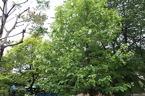 0.ハンカチの木1.jpg