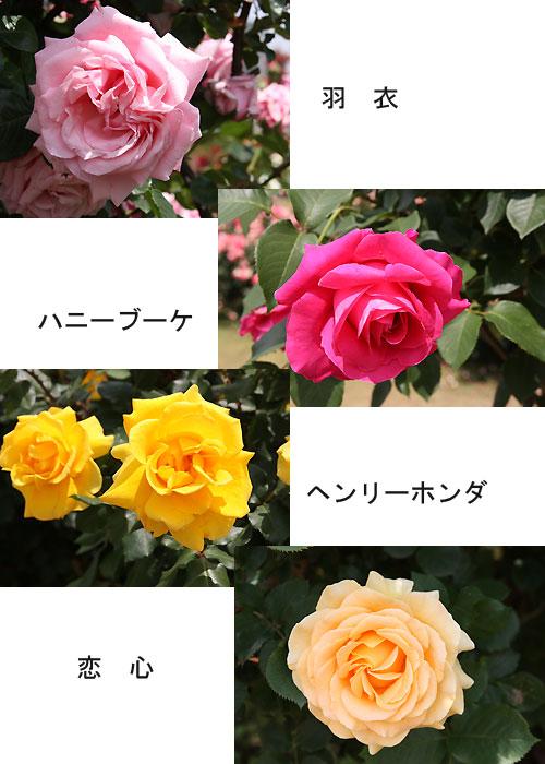 0.京成バラ園1.8.jpg
