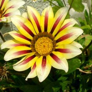 赤と黄色と白のお花