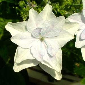真っ白なお花
