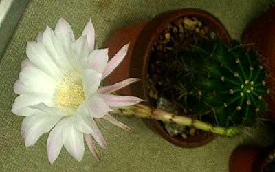 ひとつだけ咲いたサボテンの花