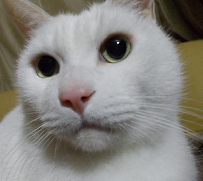 世界で一番かわいいシロネコ七味ちゃん