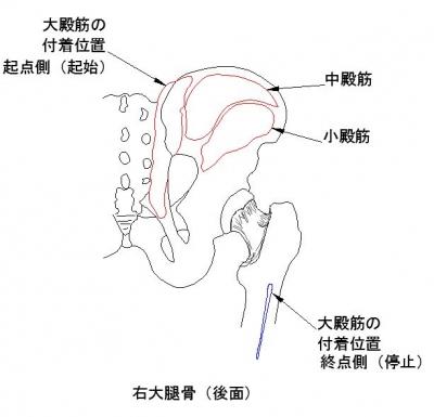 歩行 大殿 筋 【大殿筋の機能解剖、動作との関連詳細】大殿筋についての理解を深め、臨床での評価、治療アプローチに繋げよう!