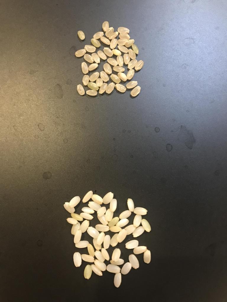 浸水前の玄米と温浸水後の玄米