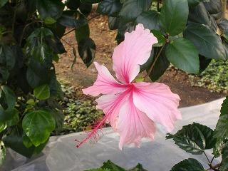 ピンク バタフライ