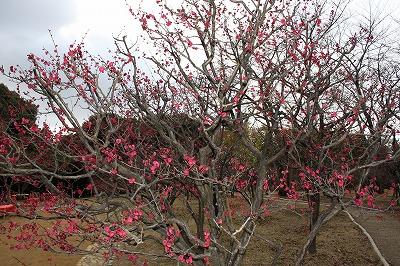 デジイチ赤梅の木