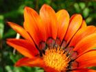 ガザニアの画像 by 花
