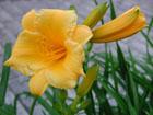 ヘメロカリスの画像 by 花