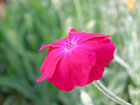 フランネルソウの画像 by 花