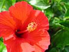 ハイビスカスの画像 by 花