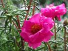 マツバボタンの画像 by 花の家