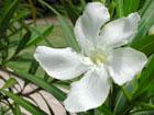 キョウチクトウの画像 by 花