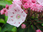 カルミアの画像 by 花