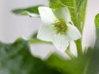ホオズキの画像 by 花