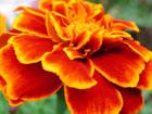 フレンチマリーゴールドの画像 by 花