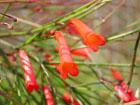 ハナチョウジの画像 by 花