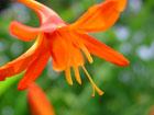 モントブレチアの画像 by 花