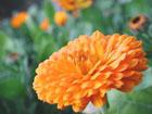 ポットマリーゴールドの画像 by 花の家