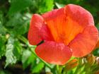 ノウゼンカズラの画像 by 花
