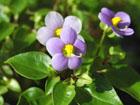 エキザカムの画像 by 四季の花々