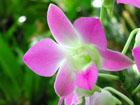 デンファレの画像 by 花