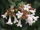 アベリアの画像 by 四季の花々