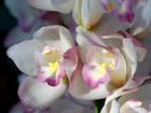 ピンクのシンビジウムの画像 by 植物園