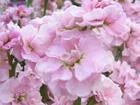 ストック〈八重咲き〉の画像 by ヤエ素材