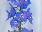 デルフィニウム・ベラドンナの画像 by 誕生花と幸福の花言葉