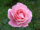 ピンクのバラの画像 by イタリアからボンジョルノ!