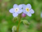 ワスレナグサの画像 by 花