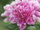 シャクヤクの画像 by 花