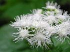 アゲラタムの画像 by 花