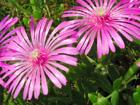 マツバギクの画像 by 花