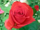 真紅のバラの画像 by ヤエ素材