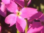 ストック〈一重咲き〉の画像 by 科学技術研究所