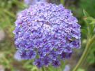ブルーレースフラワーの画像 by 草と木と花の博物誌