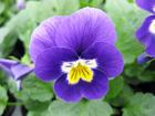 ビオラ〈紫〉の画像 by フェニックスガーデン