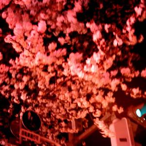 夜桜+春風