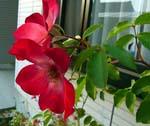 春から寒くなるまで次々と咲いてくれます。