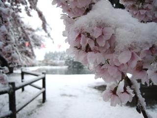 満開の桜に積もる雪