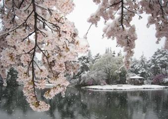 満開の桜に積もる雪2