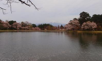 大沼湖畔桜祭り2