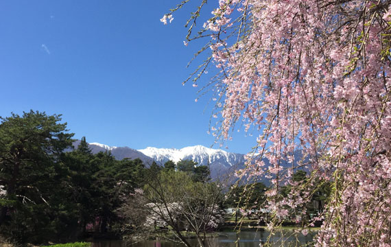 馬見塚公園の桜