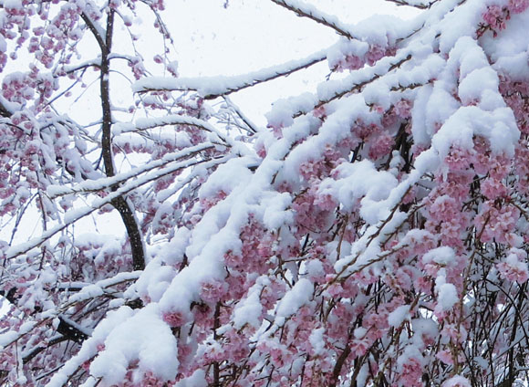 4月10日の馬見塚公園の桜2