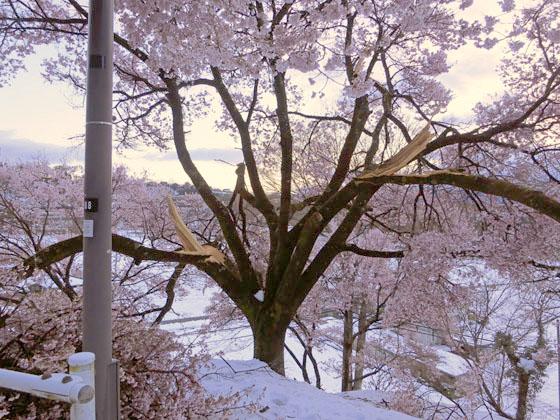 枝が折れたヒガンザクラ