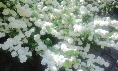 白い綺麗な花たち